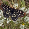 snowberry checkerspot 7-23-07