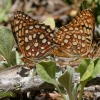 fritillaries mating 7-15-15