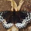 great spangled fritillary 8-21-04