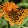 meadow fritillary 7-17-04