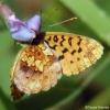 meadow fritillary underside 7-17-04