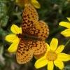 meadow fritillary 7-7-09
