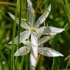 Camassia leichtlinii 6-4-15