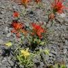 Castilleja pruinosa 7-6-19