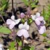 Collinsia grandiflora 6-4-19