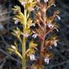 Corallorhiza maculata 7-1-05