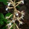 Corallorhiza maculata 7-11-07