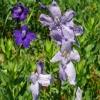 Delphinium menziesii 8-5-11