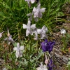 Delphinium menziesii 7-1-10