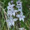 Delphinium menziesii 5-7-13