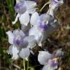 Delphinium menziesii 6-18-07