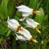 Dodecatheon pulchellum 5-16-12