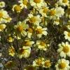 Eriophyllum lanatum 6-26-08
