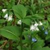 Mertensia bella 5-25-14