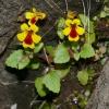 Mimulus alsinoides 5-4-11