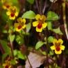 Mimulus alsinoides 4-18-10