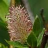 Salix boothii 5-25-14