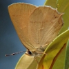 golden hairstreak 9-4-03