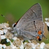gray hairstreak 8-5-03