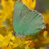 green hairstreak 6-25-18