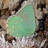 green hairstreak 6-8-09