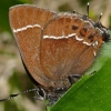 Johnson's hairstreak 5-25-14