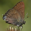 hedgerow hairstreak 8/10/02