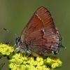 cedar hairstreak 5-1-03