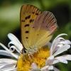 lilac-bordered copper 7-22-03