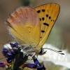 lilac bordered copper 7-14-04