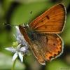 lilac bordered copper 6-25-04