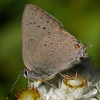 sylvan hairstreak 8-26-08
