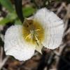Calochortus subalpinus 7-6-13