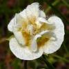Calochortus subalpinus 7-20-08