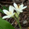 Clintonia uniflora 6-24-15