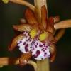 Corallorhiza maculata 6-15-12