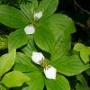 Cornus unalaschkensis 6-29-15