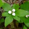Cornus unalaschkensis 6-30-16
