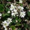 Rubus ursinus 6-30-07