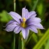 Sisyrinchium idahoense 7-9-10