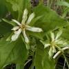 Trillium ovatum 6-18-04