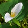 Trillium ovatum 4-7-10