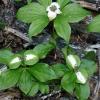 Cornus unalaschkensis 7-19-13