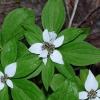 Cornus unalaschkensis 7-20-13