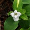 Cornus unalaschkensis 7-25-10