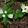 Cornus unalaschkensis 7-4-13