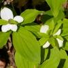 Cornus unalaschkensis 6-12-16