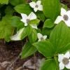 Cornus unalaschkensis 6-24-15