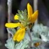 Eriophyllum lanatum 10-24-19