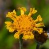 Eriophyllum lanatum 6-26-16